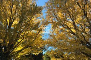 銀杏の紅葉の写真