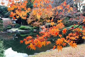 日本庭園のもみじ紅葉